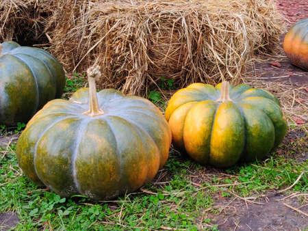 Ripe pumpkins on ground in autumn park
