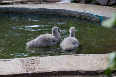 Mute swan chick swimming on the pond