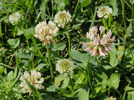 white clover flowers in the springtime