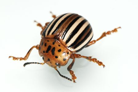 The false potato beetle (sometimes horsenettle beetle), Leptinotarsa juncta, is a beetle found primarily in the Mid-Atlantic and southeastern regions of the United States. Recently, it has also been discovered in the northeastern portion of Ohio as well.
