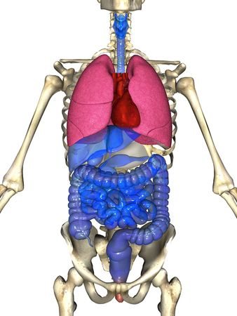 3D rendering of the major organ systems of the human body superimposed in position over the skeleton.  Anatomically correct illustration of the heart, lungs, liver, larynx, stomach, gallbladder, pancreas, intestine, colon and skeleton