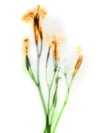 color-enhanced x-ray of daylily flowers 版權商用圖片