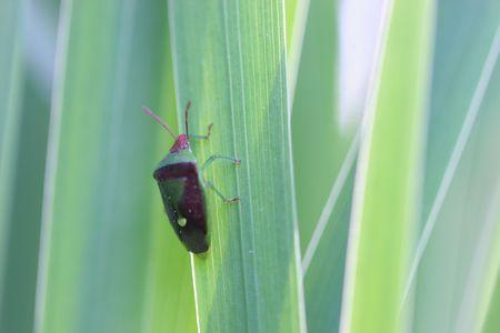 Beetle on Gras Standard-Bild