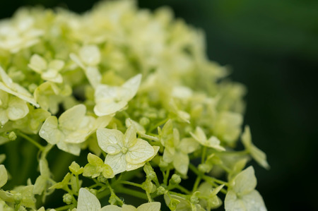 Hydrangea with water drops after a rain close up Banco de Imagens - 29342152