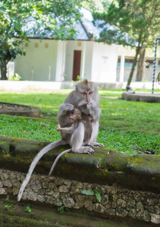 monkey nuts: Monkey with a cub in park