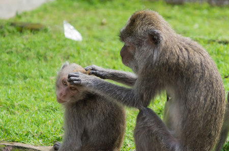 primacy: Family of monkeys of macaques in forest park