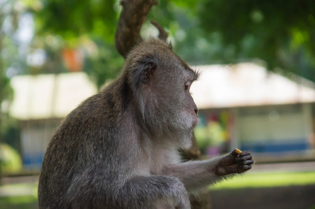 monkey nut: The sitting monkey looks at a nut
