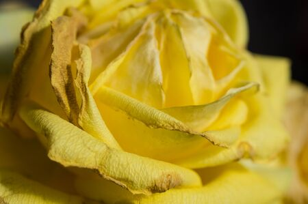 fading: Lovely fading yellow rose close up