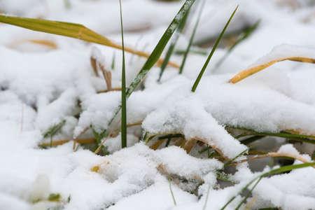 close up: Green grass under the first snow close up