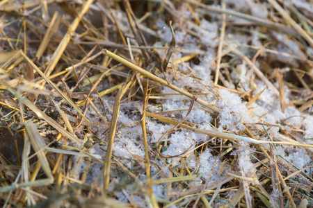 grass close up: Snow on the dry grass close up