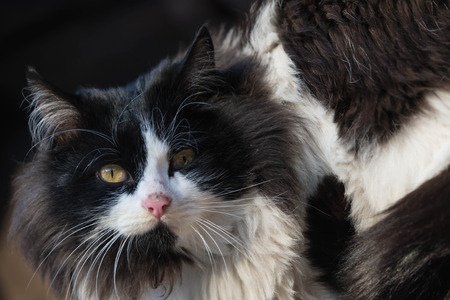 fluffy cat: Portrait of black and white fluffy cat