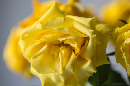 fading: The fading rose of yellow color