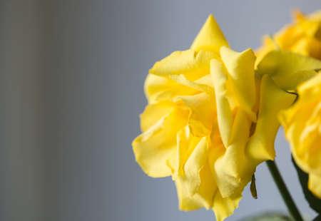 close up: Beautiful yellow rose close up