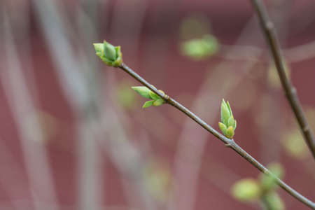 bush to grow up: Tree branch with buds close up Stock Photo