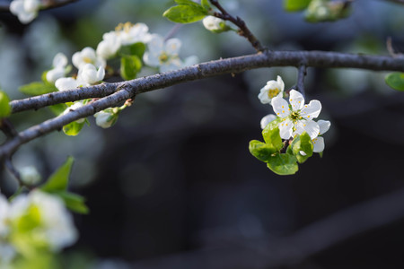 plum tree: The blossoming plum tree in sunny spring day Stock Photo