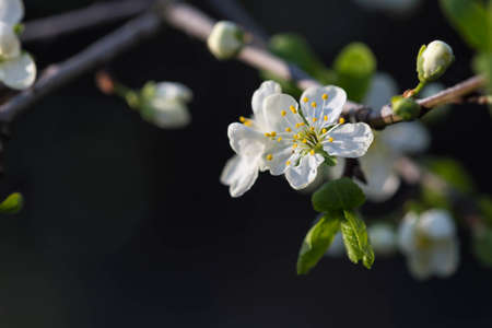 plum tree: Flower of plum tree on a branch close up