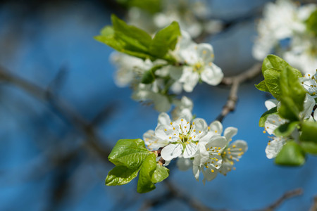 plum tree: Flowers on a plum tree close up Stock Photo