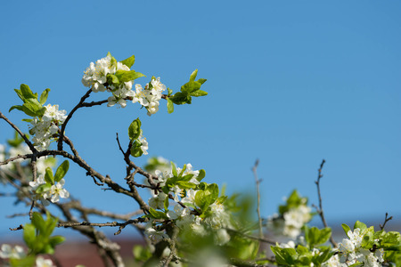 plum tree: Flowering plum tree against the blue sky
