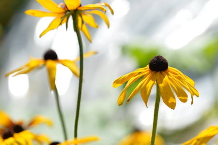 Bright yellow flowers in the garden on a hot summer day Stock Photo