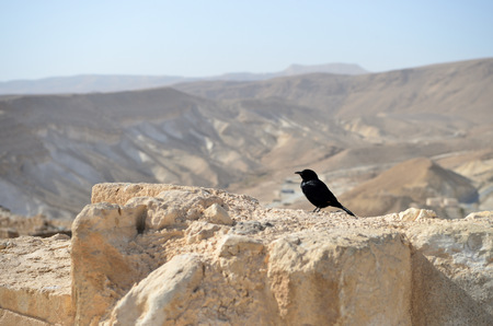 bird of israel: Tristrams starling on the ruins of an ancient fortress Stock Photo