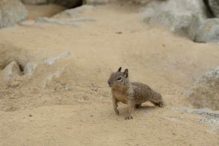 ?ute little squirrel in the sand on the coast 版權商用圖片