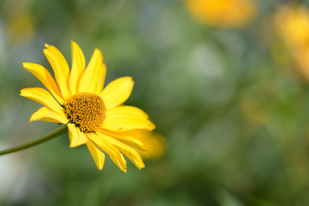 Bright yellow flower in the garden close up