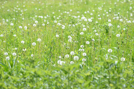 Summer meadow covered with flowers of dandelion