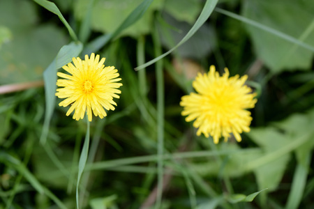 Yellow dandelion flowers on a summer meadow close up