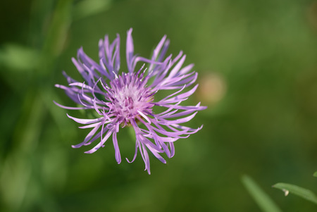 Thistle flower on a summer meadow close up