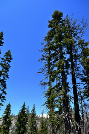 Tall trees in Yosemite National Park, California, USA Stock fotó
