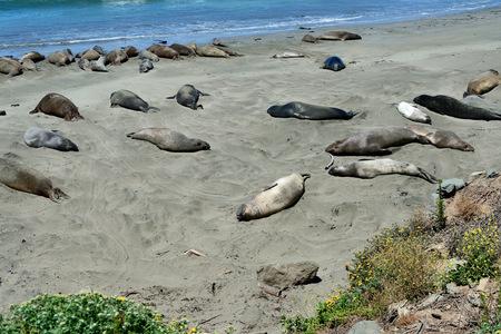 Cute and funny Sea Elephants on the Pacific Coast. California, USA