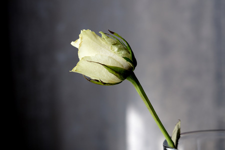 Withered white rose on a gray background close up 스톡 콘텐츠