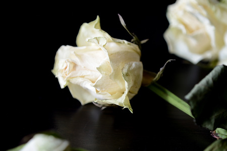 Faded white roses on a dark background close up 版權商用圖片
