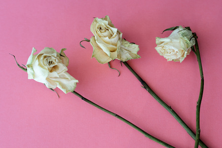 Dried white roses on a pink background close up