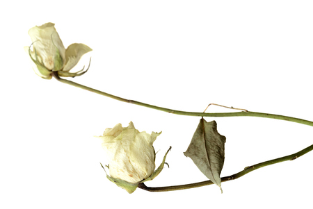 Dried rose flowers close up isolated on white
