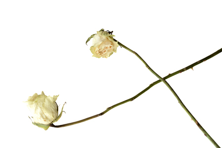 Dried rose flowers close up isolated on white 版權商用圖片