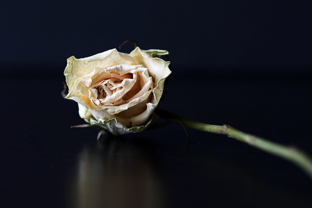 Dry white rose on a dark background close up