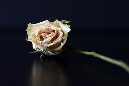 Trockene weiße Rose auf dunklem Hintergrund Nahaufnahme