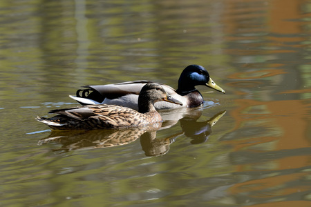 Couple of mallard duck are swimming in the city pond