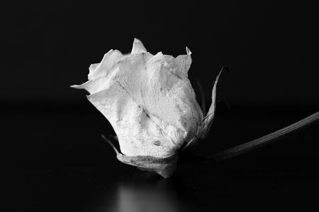 Dry white rose on a black background close up. Black and white