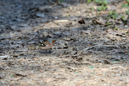 Chaffinch walking on the ground in the spring forest