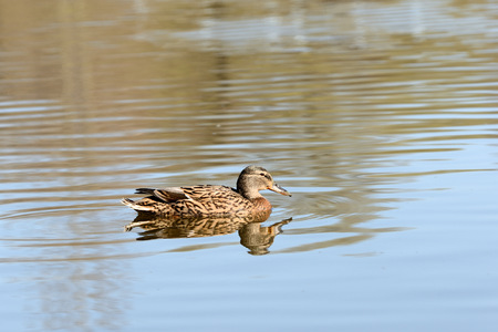 Wild duck swims in a city pond on a sunny day Banco de Imagens