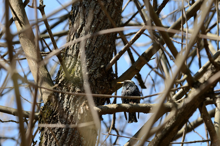 Common starling (Sturnus vulgaris) sitting on a tree branch in a spring sunny day Reklamní fotografie