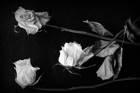 Dried white rose on a dark background close up. Black and white