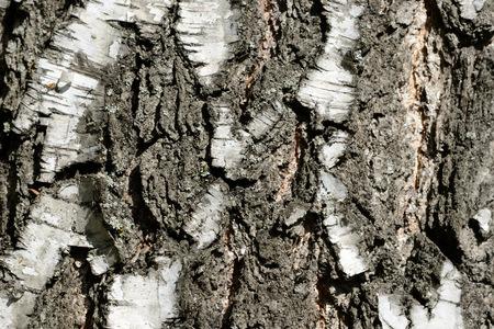Birch bark background close up. Natural texture