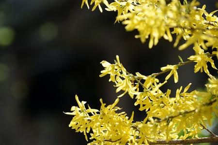 Bright yellow flowering forsythia bush on a springtime close up