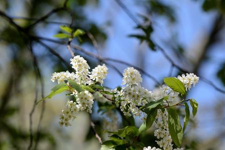 Beautiful white flowers on the branches of bird cherry on a clear spring day