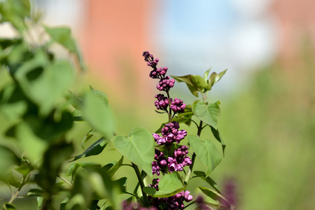 Beautiful lilac begins to bloom in the garden on a bright sunny spring day Stock fotó