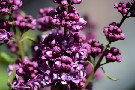 Beautiful lilac begins to bloom in the garden on a bright sunny spring day
