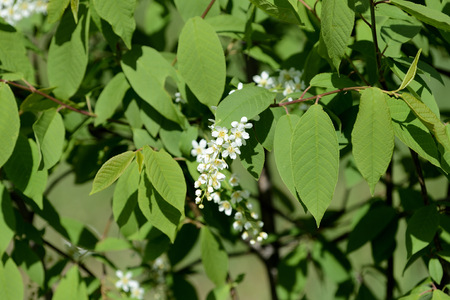 Blossoming branches of a young bird cherry tree on a sunny spring day